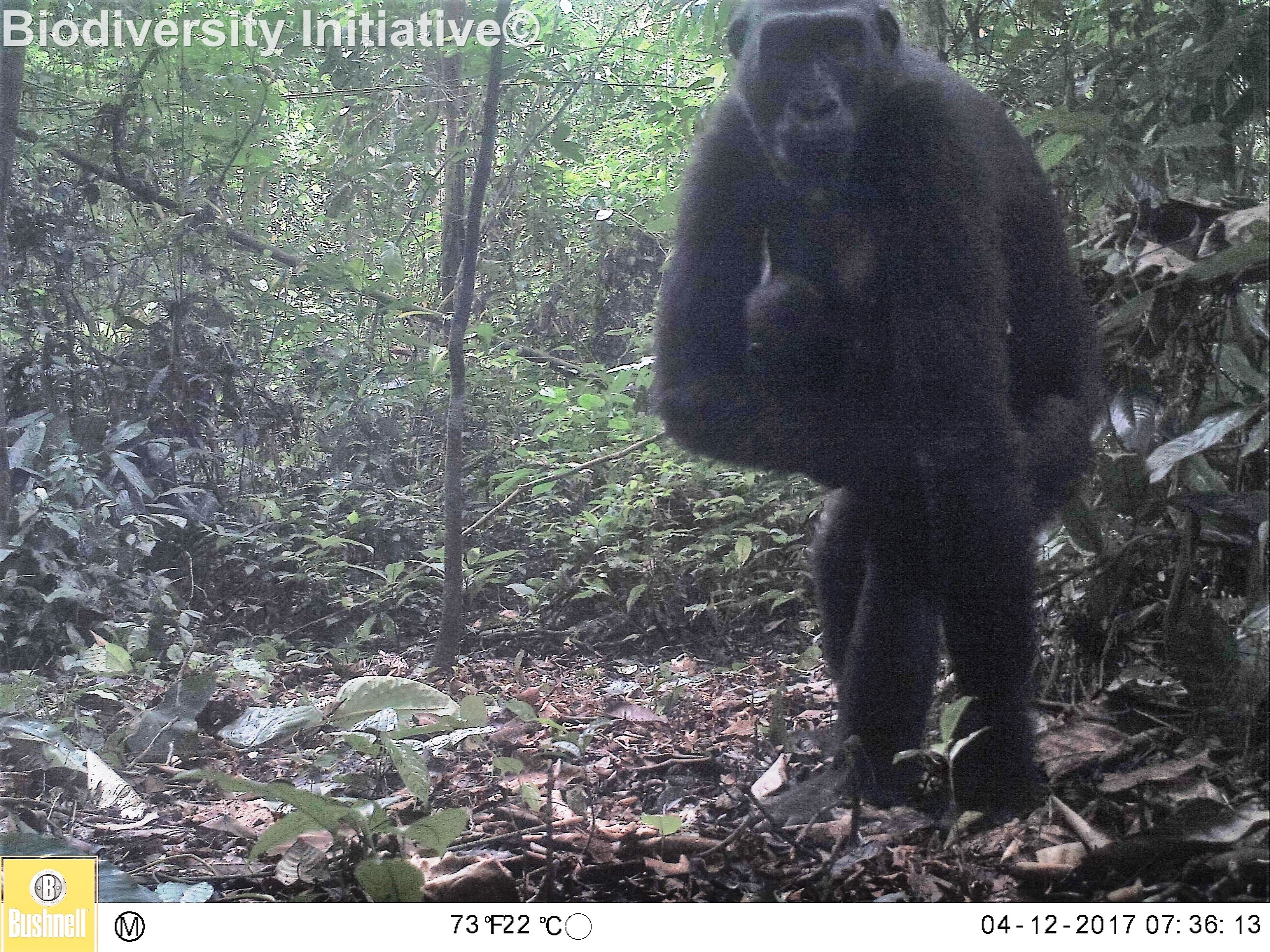 Great apes camera trap image