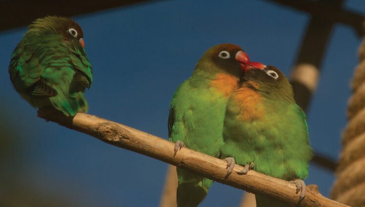 Lovebirds Lovebirds At Bristol Zoo Bristol Zoo