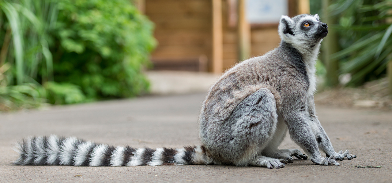 Image result for Ring-tailed Lemur