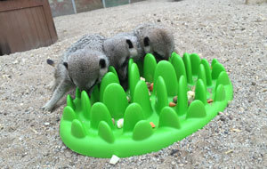 Meerkat enrichment