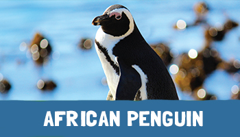 African Penguin Project