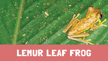 Lemur Leaf Frog Project