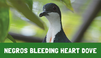 Negros Bleeding Heart Dove Project