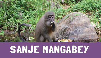 Sanje Mangabey Project