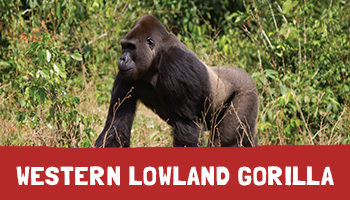Western Lowland Gorilla Project