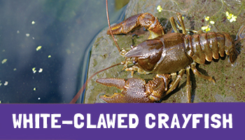 White-clawed Crayfish Project
